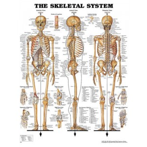 Skeletal System Chart 20 w X 26 h