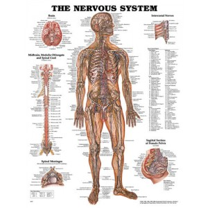 Nervous System Chart 20 w X 26 h