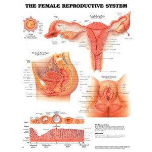 Female Reproductive Chart