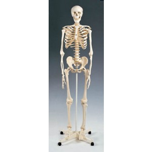 Skeleton Model Plastic