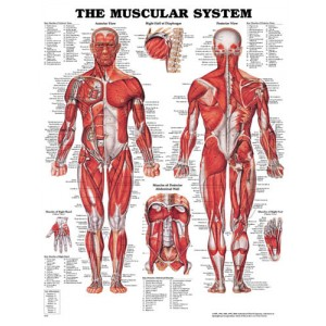 Muscular System Chart 20 w X 26 h