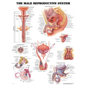 Male Reproductive Chart 20 w X 26 h
